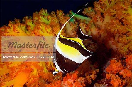 Moorish Idol (Zancluse cornutus) swimming underwater, North Sulawesi, Sulawesi, Indonesia