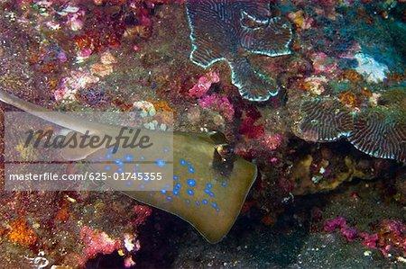 Bluespotted Stingray (Dasyatis kuhlii) swimming underwater, North Sulawesi, Sulawesi, Indonesia