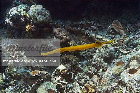 Trumpet fish (Aulostomus chinensis) swimming underwater, Papua New Guinea