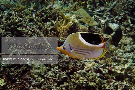 Saddled butterflyfish (Chaetodon ephippium) swimming underwater, Papua New Guinea