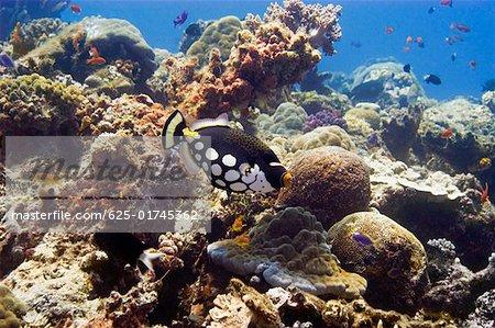 Clown triggerfish (Balistoides conspicillum) swimming underwater Papua New Guinea