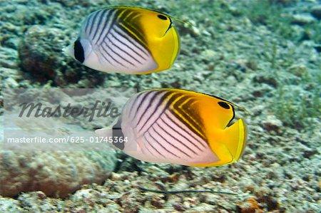 Two Threadfin butterflyfish (Chaetodon auriga) swimming underwater, Papua New Guinea