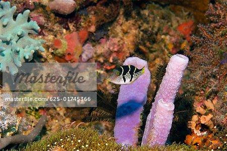Valentinni's Sharpnose puffer (Canthigaster valentini) swimming underwater, Papua New Guinea