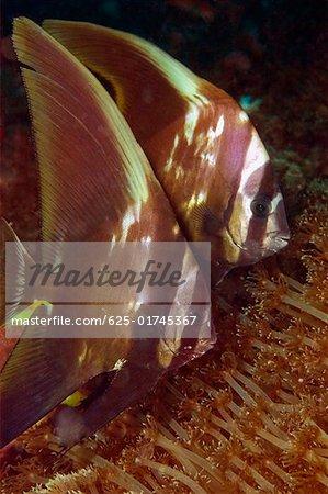 Two Longfin Spadefish (Platax teira) swimming underwater, North Sulawesi, Sulawesi, Indonesia