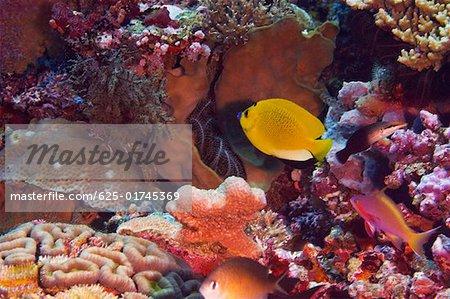 Three Spot angelfish swimming in water, North Sulawesi, Sulawesi, Indonesia