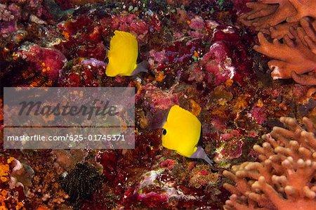 Two Big Longnose butterflyfish (Forcipiger longirostris) swimming underwater, North Sulawesi, Sulawesi, Indonesia