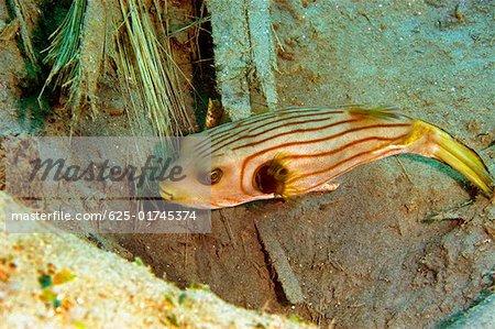 Striped Puffer (Arothron manilensis) swimming underwater, Papua New Guinea