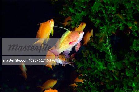 School of Lyre-Tail Anthias fish (Pseudanthias squamipinnis) swimming underwater, North Sulawesi, Sulawesi, Indonesia