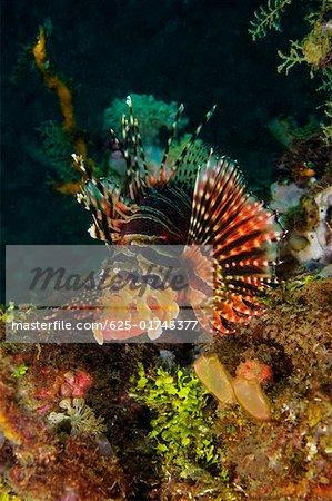 Mombasa Lionfish swimming underwater, North Sulawesi, Sulawesi, Indonesia