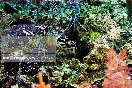 Tortue verte (Chelonia mydas) nageant sous l'eau, îles Caïmans