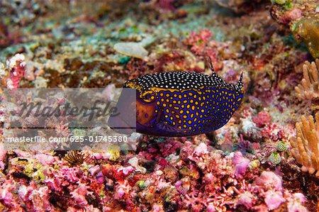 Spotted boxfish (Ostracion meleagris) swimming underwater, North Sulawesi, Sulawesi, Indonesia