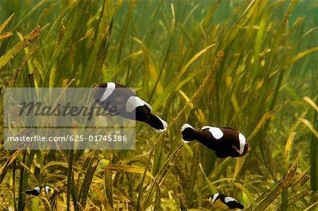 Four Saddleback anemonefish swimming underwater, Papua New Guinea