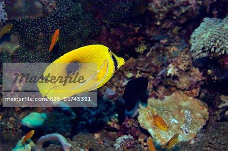 Eclipse poisson nageant sous l'eau, Sulawesi du Nord, Sulawesi, Indonésie