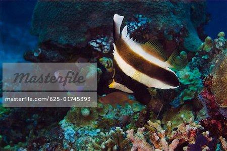 Pennant bannerfish (Heniochus chrysostomus) swimming underwater Papua New Guinea