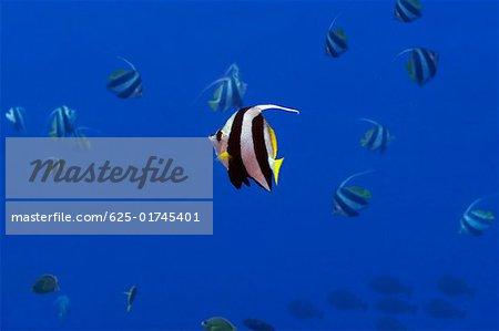 School of Longfin bannerfish (Heniochus acuminatus) swimming underwater, Papua New Guinea