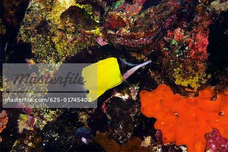 Big Longnose Butterflyfish (Forcipiger longirostris) swimming underwater, North Sulawesi, Sulawesi, Indonesia