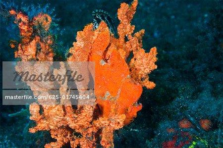 Les poissons-grenouilles orange sur une Orange éponge sous l'eau, Nord Sulawesi, Indonésie