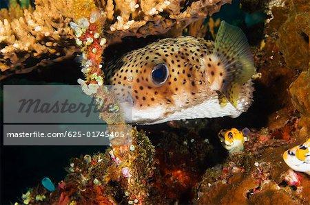 Poisson porc-épic tacheté, nager sous l'eau, Sulawesi du Nord, Sulawesi, Indonésie