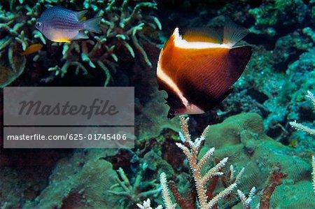 Humphead bannerfish (Heniochus varius) swimming underwater, Papua New Guinea