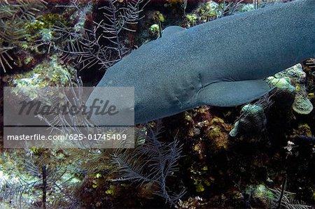 Requin nourrice (Ginglymostoma cirratum) nageant sous l'eau, îles Caïmans