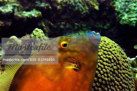 Gros plan d'une tordeuse Monacanthidae (Pervagor melanocephalus) nageant sous l'eau, îles Caïmans