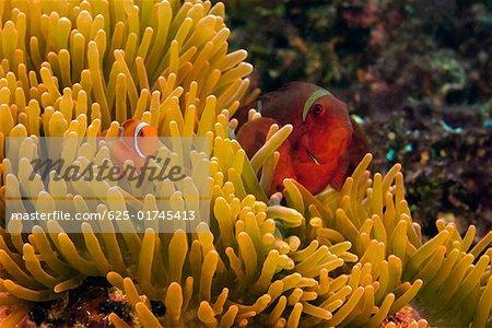 Two Spine Cheek anemone fish (Premnas biaculeatus) in sea anemone, North Sulawesi, Sulawesi Indonesia