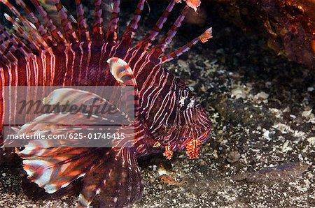 S lionfish sous l'eau, Sulawesi du Nord, Sulawesi, Indonésie