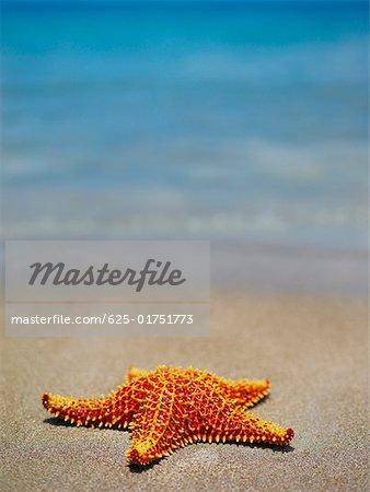 Nahaufnahme der ein Kissen-Seestern (Oreaster Reticulatus) auf die y Providencia Strand, Providencia, Santa Catalina, San Andres y