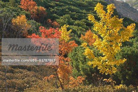 Arbres en automne, Akan National Park, Hokkaido, Japon