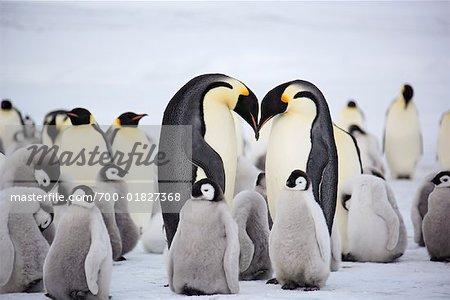 Emperor Penguins, Snow Hill Island, Antarctica