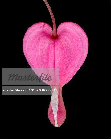 Nahaufnahme des Blutenden Herzens
