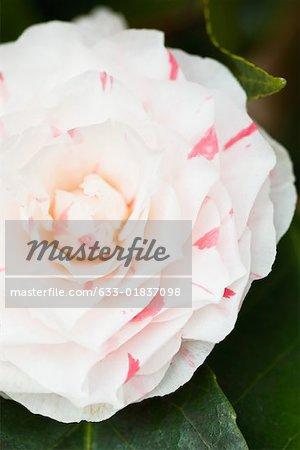 Camellia flower, close-up