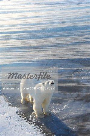 Eisbär stehend auf Eis