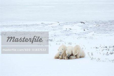 Eisbären alle Scharen im Schnee