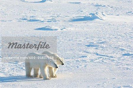 Eisbären gehen zusammen