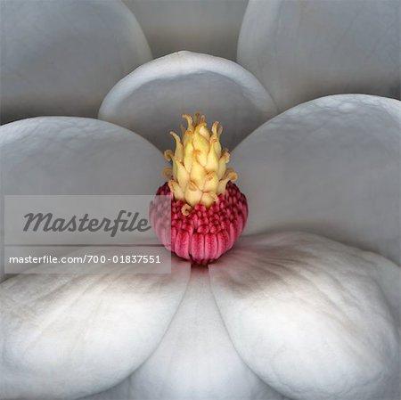 Nahaufnahme der weiße Magnolie