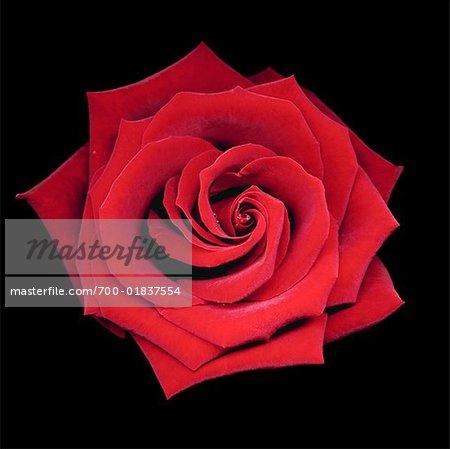 Stillleben mit Rose