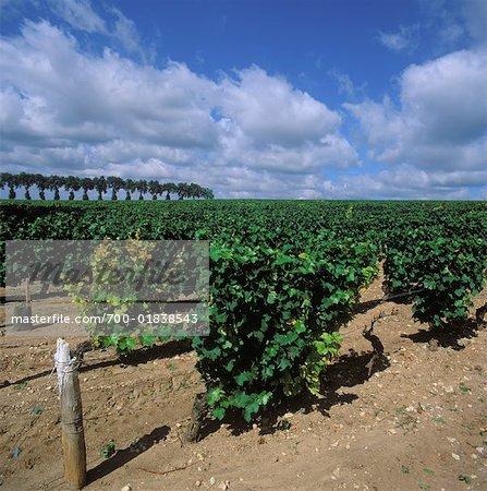 Vignoble, Bourgogne, France