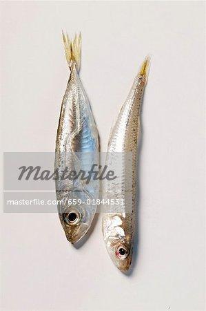 Sandsmelt fraîche et petits anchois