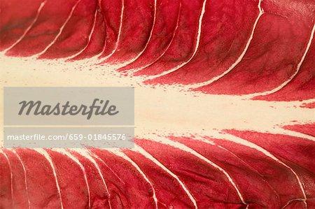 Leaf of Radicchio di Treviso (detail)
