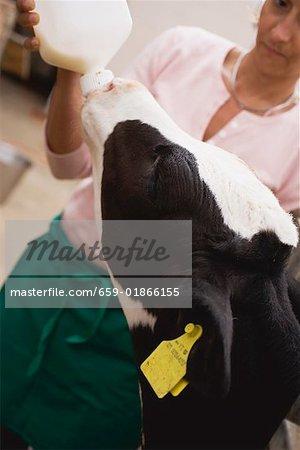 Alimentation des veaux avec du lait d'une bouteille de femme