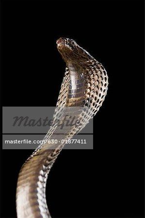 Gros plan d'un cobra d'élevage vers le haut