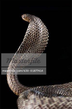 Close-up of a cobra