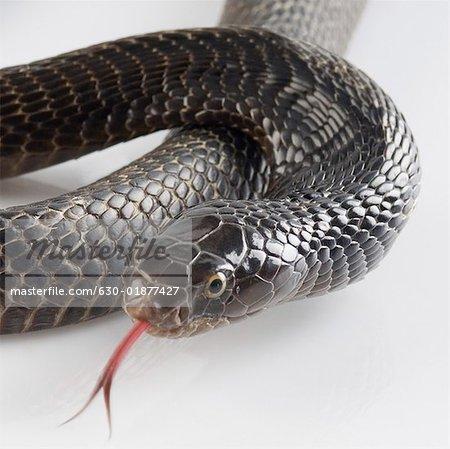 Gros plan d'un cobra effleurant ses tire la langue
