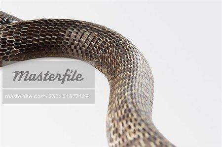 Gros plan d'un cobra changer sa peau