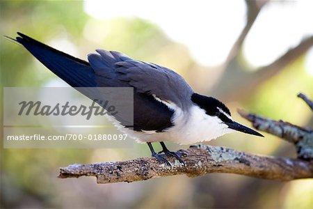 Shearwater, Wilson Island, Australie Queensland, Australie