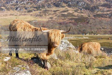 Highland Cows, Ardnamurchan, Argyll and Bute, Scotland
