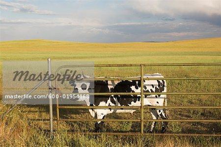 Vaches dans les pâturages