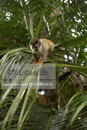 Monkeys in Tree, Manuel Antonio National Park, Puntarenas Province, Costa Rica