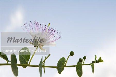 EucalyZSus branch in flower
